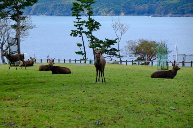 金華山の鹿|猫島(猫の島)で有名な『田代島』を中心に巡る1泊2日石巻離島の旅